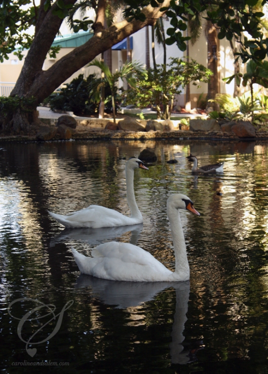 2 swans. 2 cignes.